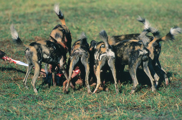View to a Kill. Mombo wild dogs