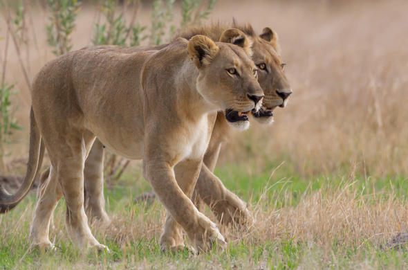 Spotting lions during your safari in Botswana.