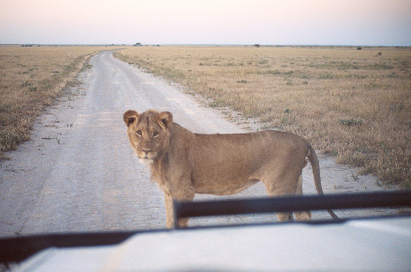 Lion in the road into Kalahari. Lee Kemp