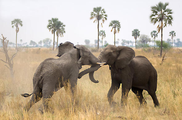Young male elephants fight it out near Selinda Camp